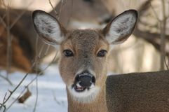 Doe. A close picture of a doe taken in a indiana wooded area Royalty Free Stock Image