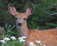 Doe. Young deer (doe) in wild stock image