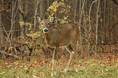 Doe 7. A picture of a doe taken at a state forest in indiana Stock Photography