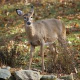 Doe. Whitetail doe that is seen in autumn stock photo
