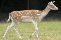 The doe Stock Image