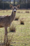 Doe in alert in autumn Royalty Free Stock Images