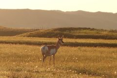 Doe antelope Stock Images