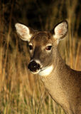 Doe: Back Off Buddy. Doe with a look toward a subordinant that says back off Stock Images
