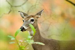 Doe behind some leaves Royalty Free Stock Image