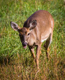 Doe in Cades Cove Royalty Free Stock Photography
