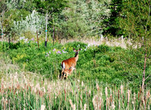 Doe with calf on a meadow Stock Images