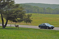 Doe and Car, Shenandoah. Deer are plentiful in the Shenandoah Valley and are used to people. Visitors often stop to view and photograph wildlife in the park Stock Photography