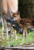 Doe Cleaning Her Young Fawn. In the early morning royalty free stock image