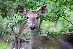 Doe Close up. I was walking through a park in the suburbs when I came face-to-face with this lovely deer Royalty Free Stock Images