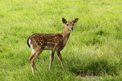 Doe cub in zoo Royalty Free Stock Photography