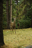 Doe, a Deer. royalty free stock photos