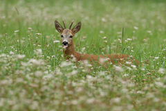 Doe Deer Royalty Free Stock Image