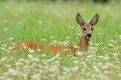 Doe Deer. In a flowerfield Royalty Free Stock Images