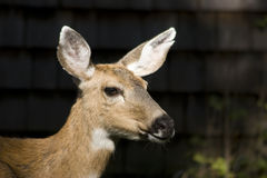 Doe, A Deer. Portrait of a doe, a deer, a female deer Stock Image