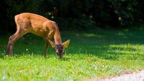 Doe deer Royalty Free Stock Photo