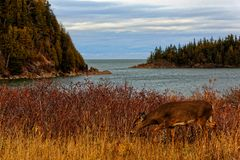 A doe Deer in the Bic National Park. Quebec Canada royalty free stock image