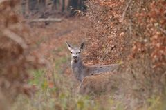 Doe deer camouflaged walking and watching in autumn forest. Doe deer camouflaged walking in autumn forest royalty free stock images