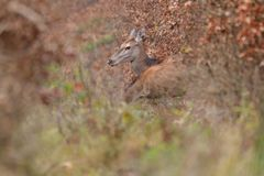 Doe deer camouflaged walking and watching in autumn forest. Doe deer camouflaged walking in autumn forest royalty free stock photography