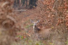 Doe deer camouflaged walking and watching in autumn forest. Doe deer camouflaged walking in autumn forest stock photography