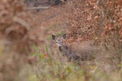 Doe deer camouflaged walking and watching in autumn forest. Doe deer camouflaged walking in autumn forest stock image