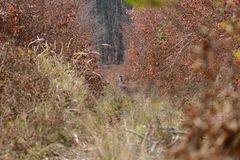 Doe deer camouflaged walking and watching in autumn forest. Doe deer camouflaged walking in autumn forest royalty free stock photo