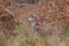 Doe deer camouflaged walking and watching in autumn forest. Doe deer camouflaged walking in autumn forest stock photos