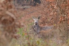 Doe deer camouflaged walking and watching in autumn forest. Doe deer camouflaged walking in autumn forest stock photo