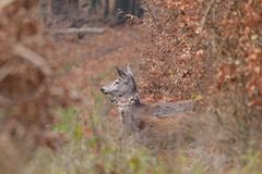 Doe deer camouflaged walking and watching in autumn forest. Doe deer camouflaged walking in autumn forest royalty free stock image