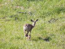 Doe Deer with Fawn Royalty Free Stock Photography