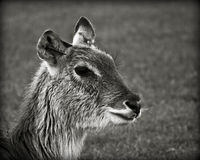 A doe, a deer Stock Images