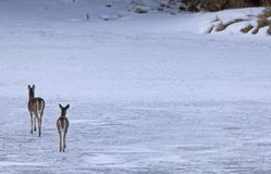 Doe deers walking on ice Stock Photography
