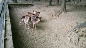 Doe. S in a zoo Stock Photography