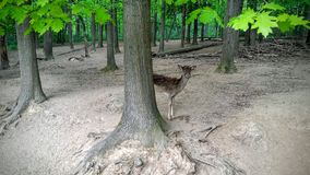 Doe. S in a zoo Royalty Free Stock Image