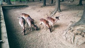 Doe. S in a zoo Royalty Free Stock Photography