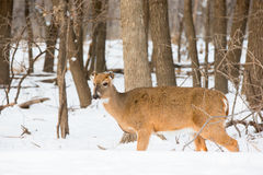 Doe without ears. Due to frostbite Stock Photography