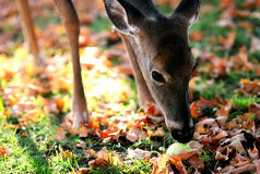 Doe Eating an Apple. A young doe is eating a yellowish-green apple amongst fallen leaves royalty free stock photos