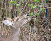 Doe eating foliage royalty free stock photography