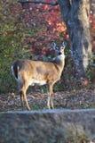Doe en hjort Arkivfoton