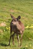 Doe för Blacktail hjortar Arkivfoto