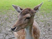 Doe - Fallow deer Royalty Free Stock Photo