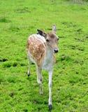 Doe Fallow Deer Royalty Free Stock Photo