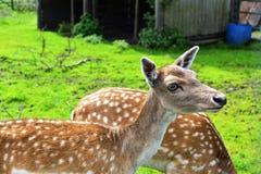 Doe Fallow Deer Stock Images