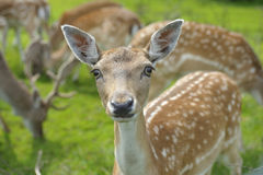Doe Fallow Deer Stock Image