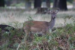 Doe Fallow Deer. A young fallow deer watching for danger in Bushey Park, Richmond, London royalty free stock photography