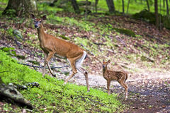Doe and fawn royalty free stock image