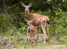 Doe and Fawn. A doe and her fawn pause in front of west coast greenery Stock Images