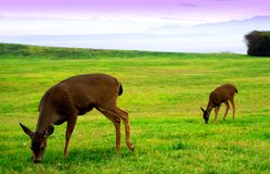 Doe and fawn. Deer standing in a field Stock Photos