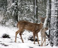 Doe and fawn. At deer feeder on snowy morning Royalty Free Stock Photography