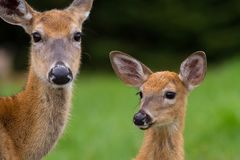 Doe and Fawn Royalty Free Stock Photos